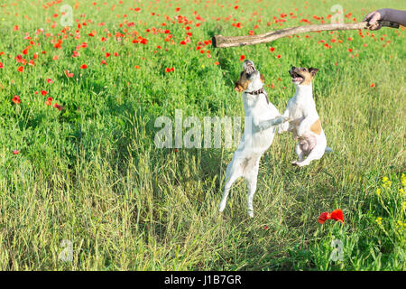 Nature, spring, flowers and pets concept - two dogs playing on a field of red poppies, jumping up a stick in the - Stock Image
