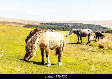 Dartmoor ponies, Dartmoor pony, Equus ferus caballus, Dartmoor horses, pony, ponies, Dartmoor, Devon, Dartmoor horse, grazing horses, Dartmoor Devon, - Stock Image