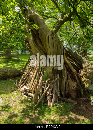 Twisted spiral trunk of an old Sweet Chestnut Tree with child's play den underneath, Bradgate Park, Leicestershire, England, UK - Stock Image