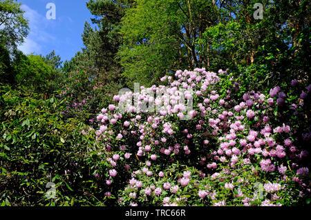 flowering pink rhododendron flowers, pretty corner, sheringham, north norfolk, england - Stock Image
