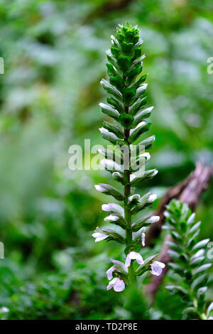 wild plant at the Alcantara river gorge, Sicily, Italy - Stock Image