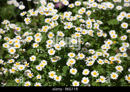 Feverfew growing in a Cheshire garden on a summer day Cheshire England - Stock Image