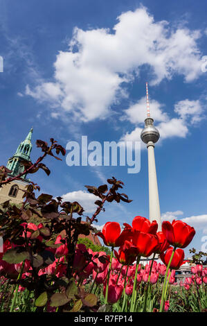 tulip blossom, spring,  Alex, TV Tower,  Alexander square,  Berlin , Germany - Stock Image