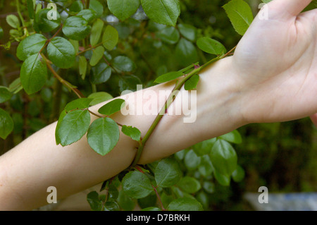 Climbing rose with thorns entwining girl's arm. - Stock Image