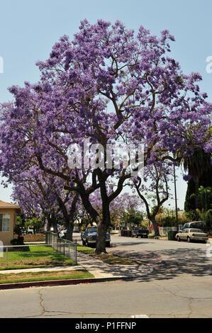 Jacaranda mimosifolia, Blue Jacaranda; Myrtle Street, Santa Ana, CA; 080528_30500 - Stock Image