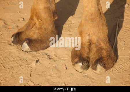 Camel feet. Toes - Stock Image