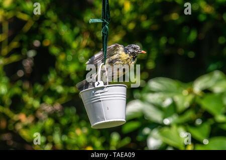 Urban wildlife with a  bluetit (Cyanistes caeruleus) perched on a garden bird feeder - Stock Image