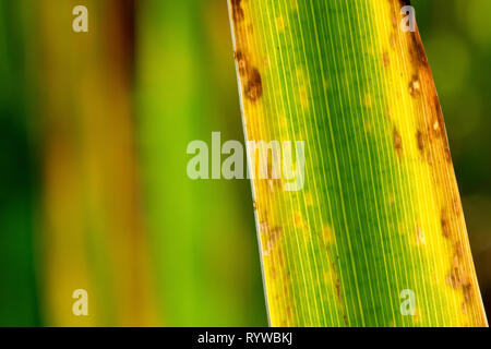 Close up of a backlit Yellow Iris leaf as it dies back and changes colour during autumn. - Stock Image