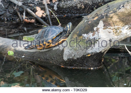 A naturalised terrepin turtle in a river near Twickenham, UK. - Stock Image