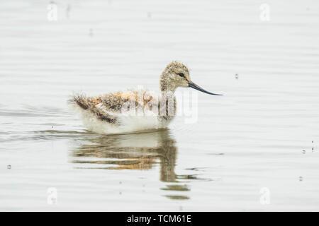 Pied Avocet Recurvirostra avosetta wader bird chick foraging in water - Stock Image