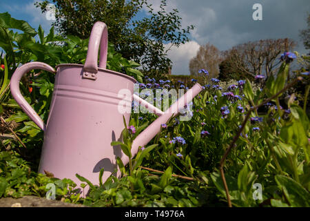 A pink watering can amongst spring flowers in a country garden - Stock Image