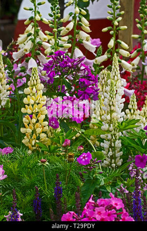 Colourful and attractive flower border with mixed planting including lupins, cosmos, phlox and foxgloves - Stock Image