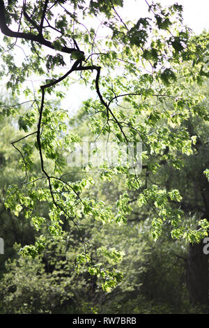 Oak Tree Branch with Green Leaves Blowing in Wind - Stock Image
