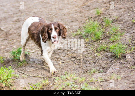 A liver and white springer spaniel with muddy feet is on a low muddy bank looking up and past the camera - Stock Image