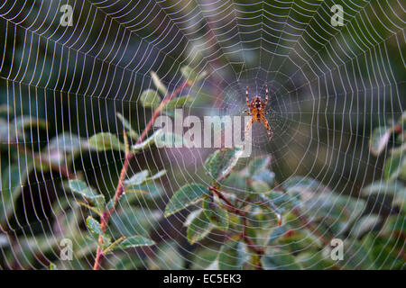spider in a spider s web - Stock Image