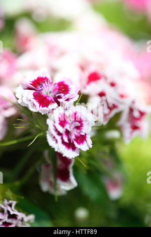 pretty red and white sweet williams - language of flowers 'gallantry' 'a smile'  Jane Ann Butler - Stock Image