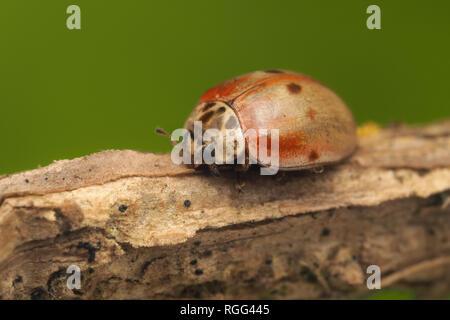 10-spot Ladybird (Adalia decempunctata) resting on Ivy stem. Tipperary, Ireland - Stock Image