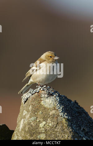 Young juvenile chaffinch, Latin name Fringilla coelebs, standing on top of a drystone wall - Stock Image