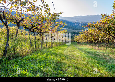 Italian vineyard in the sun. Garda Lake wine. Grappa vines. Italy - Stock Image