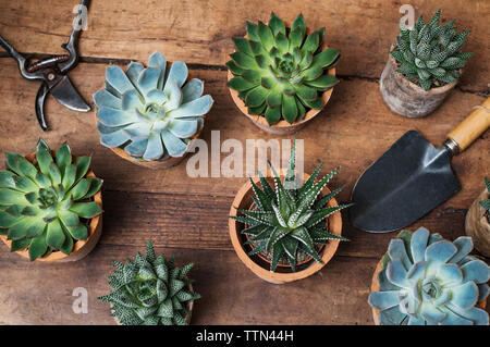Overhead view of succulent plants on wooden table in flower shop - Stock Image