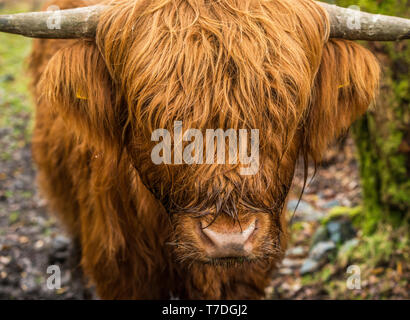 Highland Cow head on and close up. - Stock Image