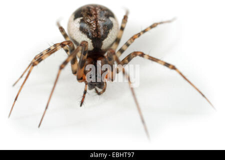 Female (Neriene montana) spider on a white background, part of the family Linyphiidae, the Sheetweb weavers. - Stock Image