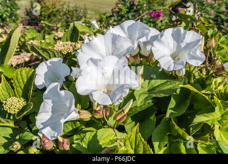 White Trumpet Flowers of the Hedge Bindweed (Calystegia sepium, Rutland beauty, Bugle vine, Heavenly trumpets, bellbind) in Summer, UK. - Stock Image