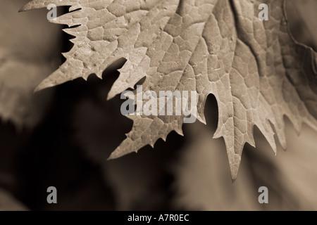 Sepia toned leaf detail - Stock Image