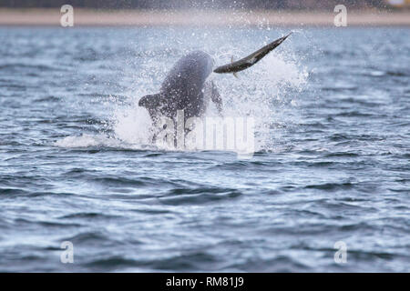 Bottlenose dolphin (Tursiops truncatus) chasing/hunting a salmon in the Moray Firth, Chanonry Point, Scotland, UK - Stock Image