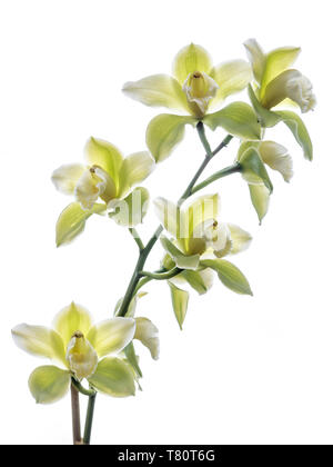 ORCHID Cymbidium Saint Helier gx 'Mont Millais' orchids against white background - Stock Image