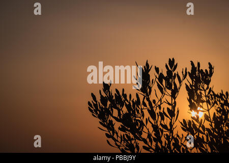 Olive tree branches silhouetted by the falling sun with a burnt umber colored ( coloured ) summer sky, Saronida, East Attica, Greece, Europe. - Stock Image