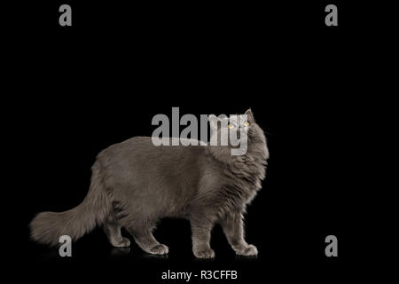 Gray Cat Standing full length and Looking up on Isolated Black Background, side view - Stock Image