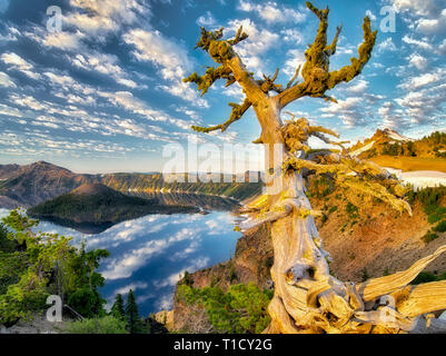 Dead Whitebark Pine tree with puffy cloud reflection, Crater Lake and Wizard Island. Crater Lake National Park, Oregon - Stock Image
