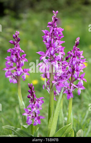Early Purple Orchid (Orchis mascula) at Myers Allotment  - Butterfly Conservation Nature Reserve, Silverdale, Lancashire - Stock Image