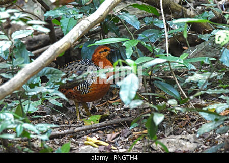 A female Ferruginous Partridge (Caloperdix oculea) partly hidden by undergrowth in a lowland forest in Western Thailand - Stock Image