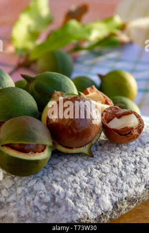 New harvest of ripe fresh Australian macadamia nuts in shell with leaves close up - Stock Image