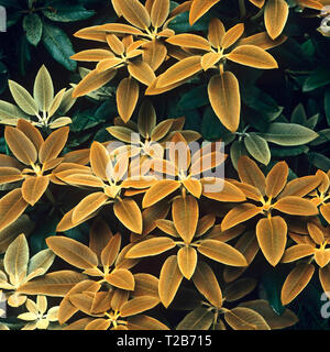 A closeup of Rhododendron pachytricbum in a country garden - Stock Image