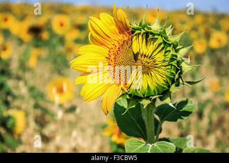 Beautiful landscape with sunflower field in summer time - Stock Image