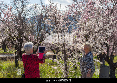 Jalon Valley, Costa Blanca, Spain, 12th February 2019. A senior female tourist shoots her friend using a tablet who poses in front of the almond blossom in this Spanish valley which is renouned for its spring show.  Credit: Mick Flynn/Alamy Live News - Stock Image