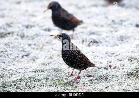 Hailsham, UK. 31st Jan, 2019. UK weather.A Starling (Sturnus vulgaris) struggles to find food this morning after a hard overnight frost in Hailsham, East Sussex, UK. Credit: Ed Brown/Alamy Live News - Stock Image