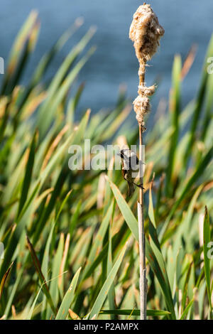 Melton Mowbray country park, Rutland. 14th June 2018: Wildlife in some areas around the UK are having a bumper year for the young, hard work catching and feeding their offsprings. Credit: Clifford Norton/Alamy Live News - Stock Image