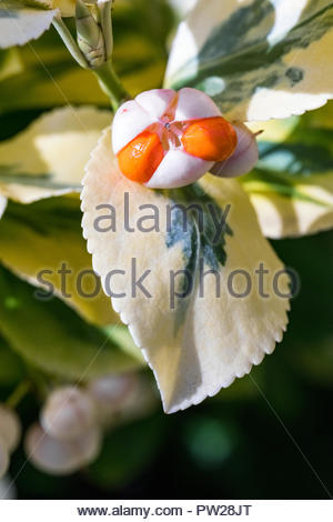 Euonymus fortunei  (Fortune's spindle, winter creeper) seeds ripening in early autumn. - Stock Image