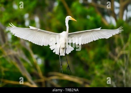 Great Egret in full swing. - Stock Image