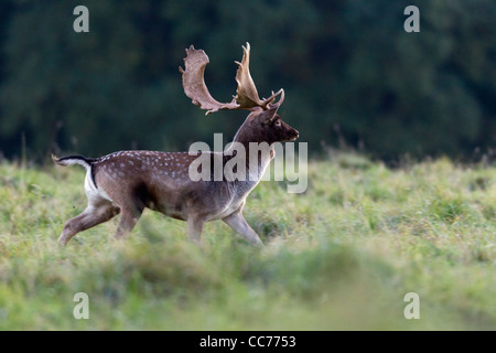 Fallow Deer (Dama dama), Buck Running, during the Rut, Royal Deer Park, Klampenborg, Copenhagen, Sjaelland, Denmark - Stock Image