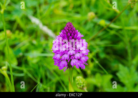 Pyramidal orchid Anacamptis pyramidalis, Cressbrook Dale NNR Peak District National Park June 2014 - Stock Image