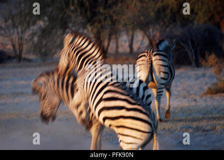 Two zebras are fighting on the sunset - Stock Image