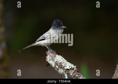 A Sirystes (Sirystes sibilator) from the Atlantic Rainforest of SE Brazil - Stock Image