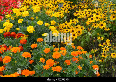 Colourful flower border with a display of French Marigolds,  Marigold 'Durango Improved' in assorted colours and Yellow Rudbeckia - Stock Image