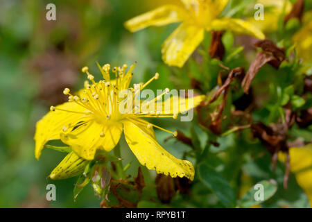 Perforate St. John's-wort (hypericum perforatum), close up of a single flower with buds. - Stock Image