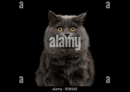 Portrait of Amazement Gray Cat with fear in eyes on Isolated Black Background - Stock Image